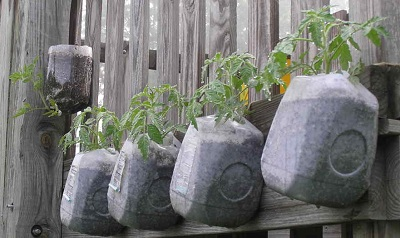 Tomato plants in milk jugs