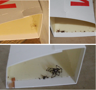 Spiders trapped in Victor traps | Pesticides are not the safest or healthiest option, but here are some safe alternatives that will help you effectively rid your home of spiders.